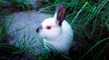 The Rabbit's Run