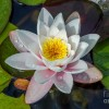 The Lilies Whisper Poetry Cited on Summer Lily Featured Art